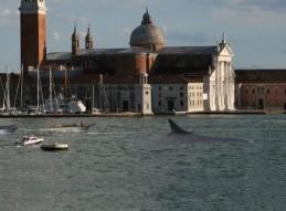 © Giordano Palin - Baline nel bacino di San Marco, Venezia - 03/31/14 18:42